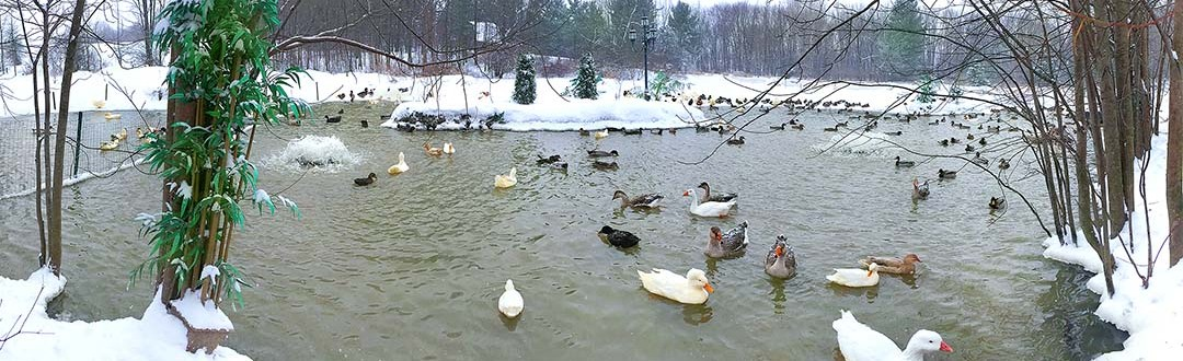 The pond at Michigan Duck Rescue and Sanctuary