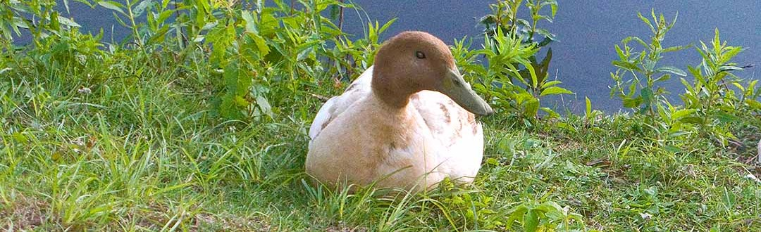 Domestic ducks are often dumped in city ponds