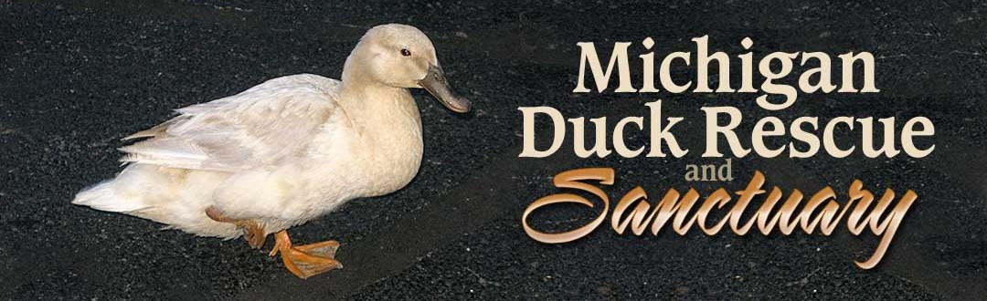 Injured domestic ducks can receive medical attention