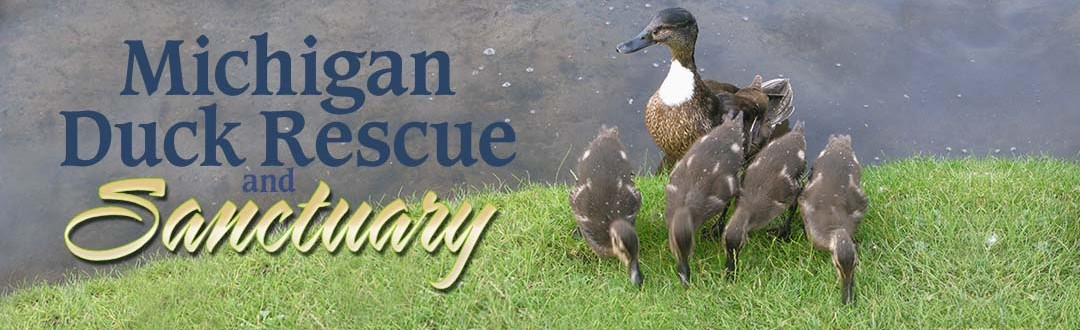 Domestic ducks breed with wild species