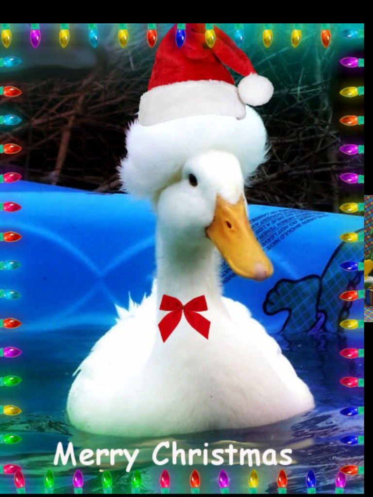 Christmas Duck.Merry Christmas And Happy New Year Michigan Duck Rescue
